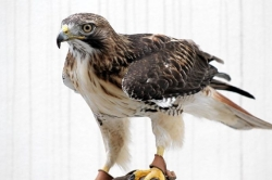 Let's Talk About Birds: Red-tailed hawks