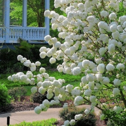 Snowball viburnum absolutely stunning