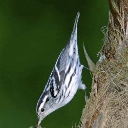 Let's Talk About Birds: The black-and-white warbler