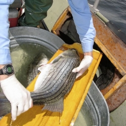White bass and hybrid striped bass are frenzy-feeding now in Western Pennsylvania