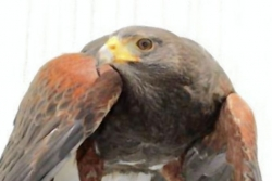 Let's Talk About Birds: Harris hawks