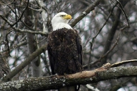 Authorities seek killer of bald eagle near Loretto