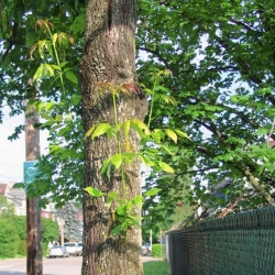 When it pays to treat for emerald ash borer