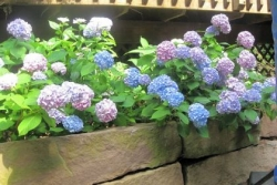 Soil's pH affects color of hydrangea