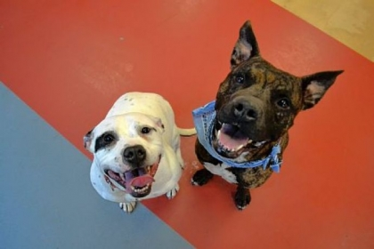 Nana, left, and Lambert, pit bulls at the Western Pennsylvania Humane Society.