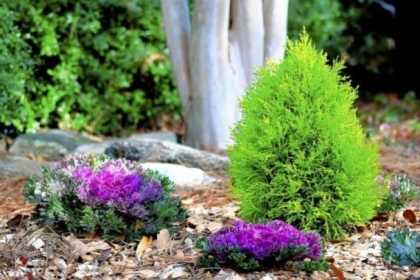 The brightly colored lemon cypress makes a stunning partner for cool season flowering kale.