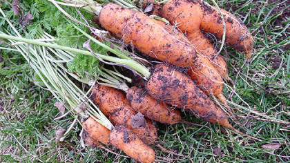 These are carrots harvested Dec. 15 in Mt. Lebanon.