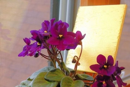 African violets prefer bright, indirect sun and need eight hours of darkness each night.