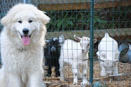 An open mouth with tongue hanging out shows that Journee, a Great Pyrenees, is happy and relaxed.