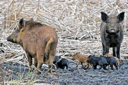 Breeding pairs of wild boars, such as this couple with piglets, have been confirmed in several Pennsylvania counties.