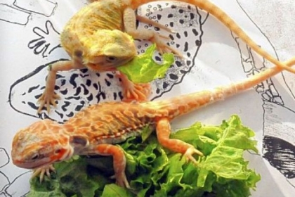 Bearded dragons munch on lettuce and bask in sunshine at the Pittsburgh Reptile Show & Sale in Cheswick.