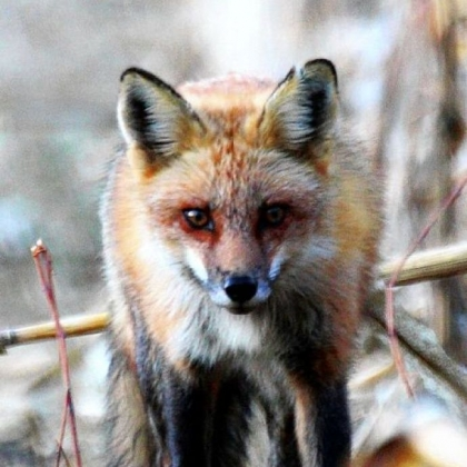 As the price of red fox pelt prices go, so goes the interest in trapping them in the state.