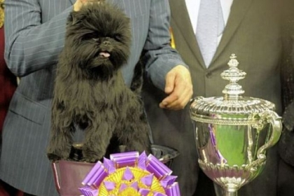Banana Joe, an Affenpinscher, won Best of Show at the 137th Westminster Kennel Club Dog Show Tuesday at Madison Square Garden in New York.