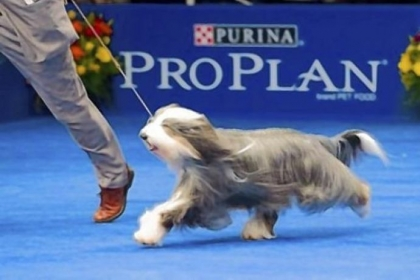 Olivia, a bearded collie owned by Ray and Kathy Harrington of Peters and Carolyn O'Neil of Nashville, Tenn., was named best of breed at the Westminster dog show.