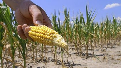 Persistent Midwestern drought last summer helped drive up corn prices. This field in Nashville, Ill., was cut down early.