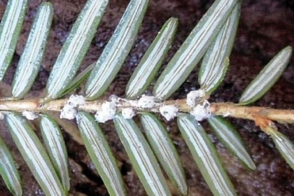 Hemlock woolly adelgid egg casings on the underside of a hemlock branch.