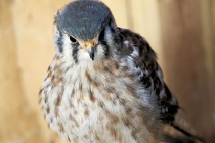 Visitors to the National Aviary this weekend can learn about the American kestrel and other falcons.