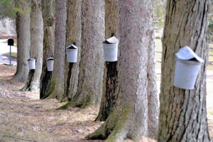 Vintage buckets hang on red maple trees along the lane to Dan Wingard's home in West Deer.