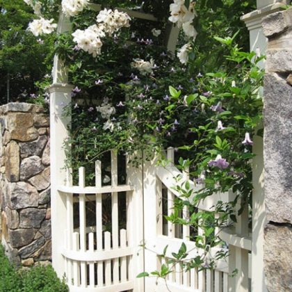 'Sally Holmes' climbing rose intertwined with 'Betty Corning' blue clematis on a gate.