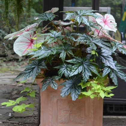 This container does pretty well in part shade, filled with plants that can replace impatiens. It's planted with caladiums, 'Gryphon' begonia and sweet potato vine.