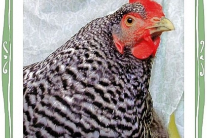 A portrait of Lucy, a Barred Plymouth Rock, who is Lauren Scheuer's favorite chicken.