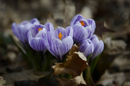 Crocus bloom from underneath piles of last year&#039;s fallen leaves Tuesday in Regent Square. Today marks the first day of spring.