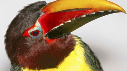 The National Aviary also has a green aracari toucan, which stars in many educational programs.