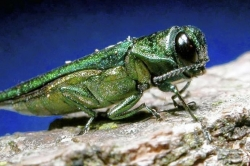 Pennsylvania ash trees at the mercy of emerald ash borer, an Asian beetle