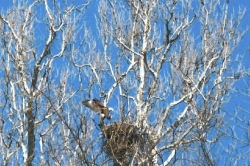 Let's Talk About Birds: Bald eagle nests