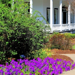 'Homestead Purple' verbena still leads the pack